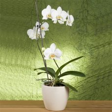 Graceful Vanilla White Orchid Blossoms Hand Delivered