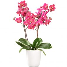 Captivating Hot Pink Orchid Blossoms Hand Delivered